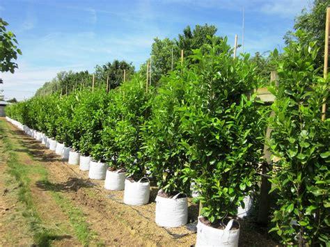 prunus laurocerasus rotundifolia hedge 5 buy cherry laurel trees prunus laurocerasus rotundifolia
