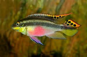 Top 10 Most Beautiful Fishes in the World   Top 10 Marvels