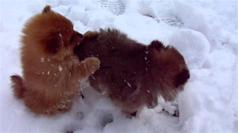 pomeranian puppies indiana pomeranian puppies play in the snow