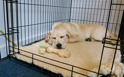 puppy in crate crate protecting your labrador retriever