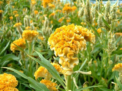 cresta di gallo fiore vibrant yellow fresh cockscomb celosia flowers onewed