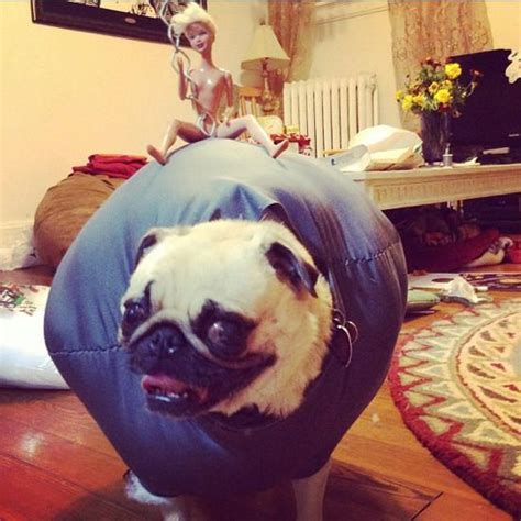miley cyrus pug pin by danielle crosby on laugh giggle smile