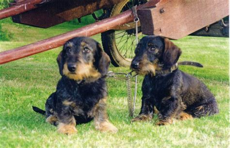 Wire haired Teckel puppies | Ross On Wye, Herefordshire ...