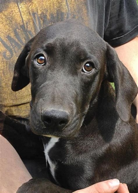 great dane lab mix puppies best 25 lab rescue ideas on puppies to adopt adopt golden retriever and