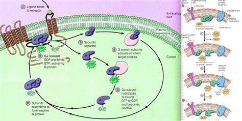 g protein activation steps adenylate cyclase adenyl cyclase