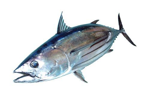 manfaat ikan tuna abon ikan tuna quot alam biruku quot gurih dan lezat