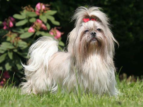 shih tzu forums shih tzu chien et chiot chien chrysanth 232 me wamiz