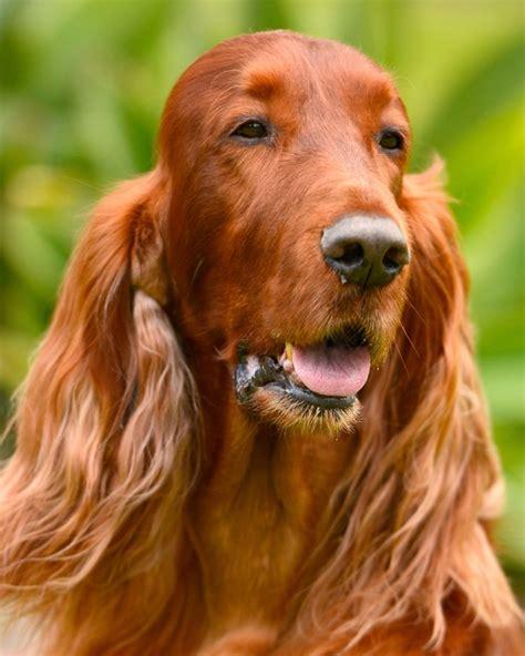 irish setter dogs for sale australia irish setters australia