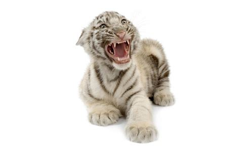 baby white tiger cubs newborn white tiger cubs images