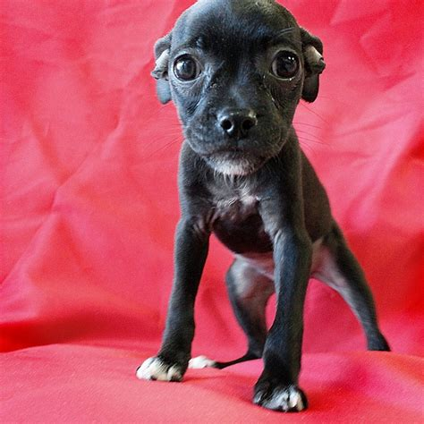 pug chihuahua mix pictures of pug boston terrier mix breeds picture
