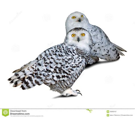 two snowy owls royalty free stock photography image