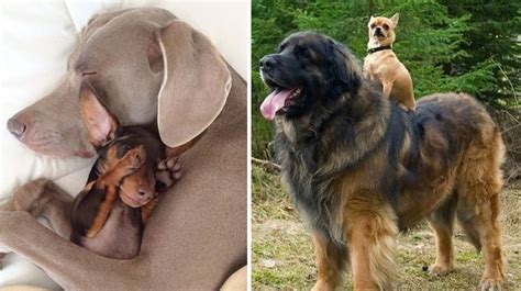 how to tell how big a puppy will be 18 big dogs hanging with their best friends