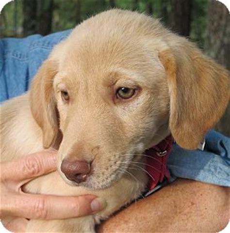 golden retriever puppies hagerstown md cheerios adopted puppy hagerstown md golden retriever labrador retriever mix