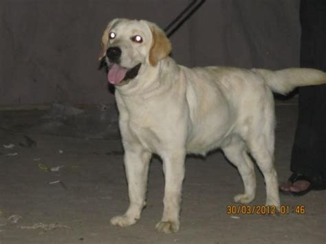 pin lebra dog for sale in lahore free classifieds pakistan