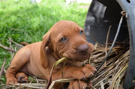 how much are vizsla puppies gorgeous hungarian vizsla puppies for sale pontypool torfaen pets4homes