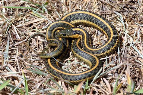 Garter Snake Oregon Oregon Gartersnake Thamnophis Atratus Hydrophilus