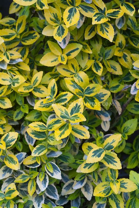 euonymus fortunei emerald n gold plant flower stock