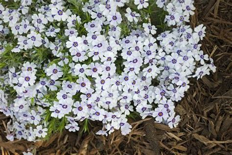 garden resources and trends fall blooming perennials 1 north hills creeping phlox root plant perennial