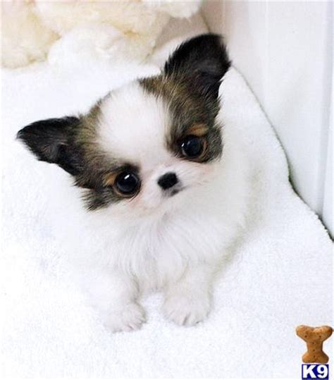 baby puppies for free best 25 apple chihuahua ideas on apple teacup chihuahua