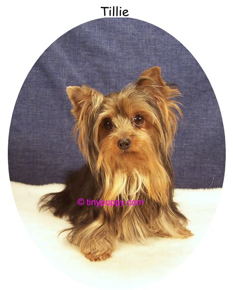 4lb yorkie beautiful 2 4 lb black and yorkie tinypuppy
