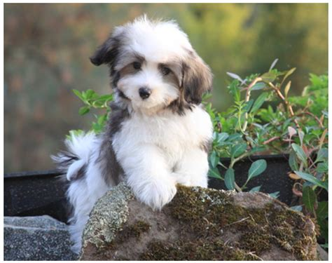havanese breeders in ny havanese dogs temperament breeds picture