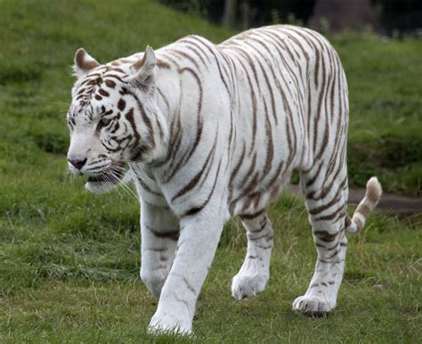White Tiger L by Worldimage4u Nature Animals The White Tigers
