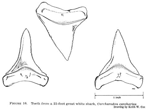 Shark Tooth Coloring Page | shark teeth coloring page bing images wood burning