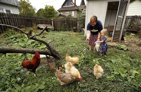 The Backyard Chicken Backyard Chicken Trend Leads To More Salmonella Infections Cdc Toronto