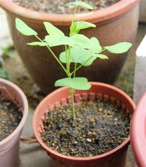 Pot Kecil Utk Tanaman Mungil 10 Biji cara menanam kecipir dalam pot atau polybag
