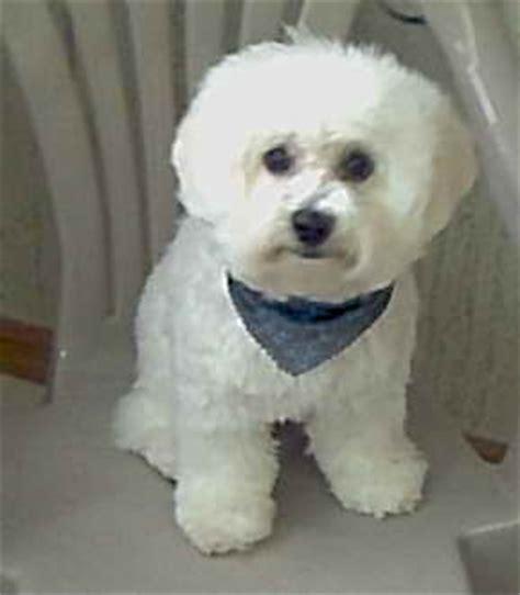 how to give a bichon a puppy cut bichon haircut google search dog pinterest bichon