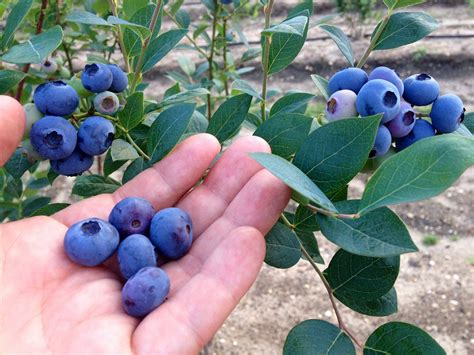 backyard berry plants dimeo farms ships three different sizes of blueberry