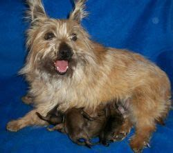 akc cairn terrier puppies for sale 1000 images about all cairns all the time on pictures of terrier puppies