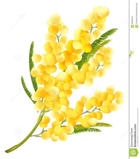 immagine di mimosa fiore fiore giallo della mimosa simbolo fiore dell acacia