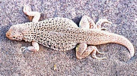 what is cryptic coloration fringe toed lizard and sand