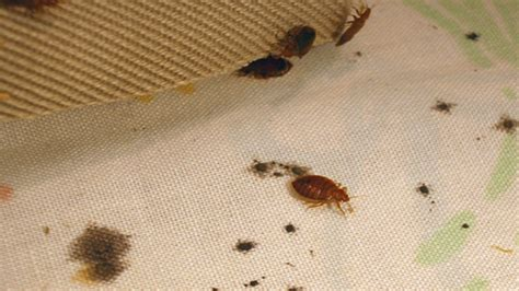 bed bug bites symptoms  treatments