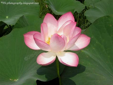 lotus flower india national flower of india nature cultural and travel