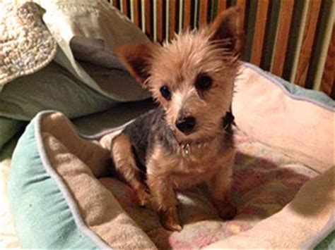 small breed rescue happy tails rescue a canadian rescue for bichon maltese and other small breeds