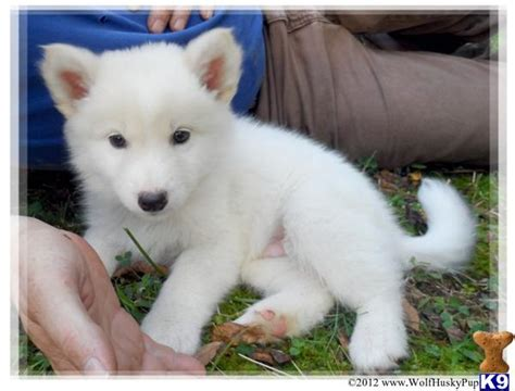 wolf puppies for sale in nc wolf puppy for sale solid white pups in nc 6 years