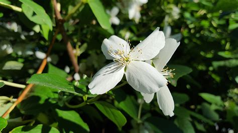 imagenes de flores jasmin free fotobanka př 237 roda květ b 237 l 253 list okvětn 237 l 237 stek