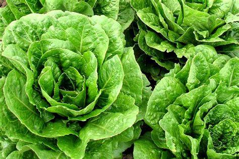 Rucola Garten Pflanzen by Salat Pflanzen S 228 En Und Ernten Wiressengesund