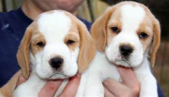 beagle colors beagle colors beagles for sale in bauer beagles