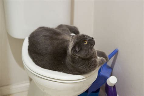 8 Places Cats Like To Sleep by Toilet Seat 8 Places Cats Like To Sleep Lifestyle