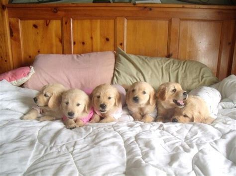 best bed for golden retriever 159 best my golden retrievers images on golden retrievers golden