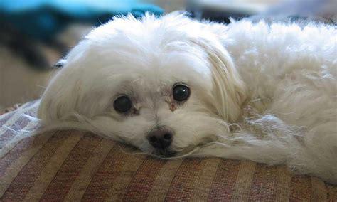 maltese dogs rescue breeds picture