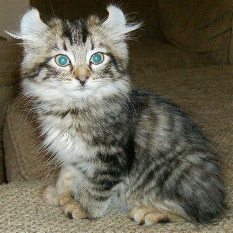 baby bengal kitten prices highland lynx kittens 110552 best price pynprice com