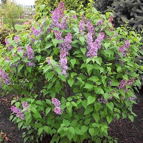 partial shade flowering shrubs must grow new shrubs trees and vines for 2014 lilacs