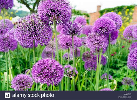 Uk Garden Flowers Purple Alliums Flowering In An Garden Border Uk Allium Stock Photo Royalty Free Image