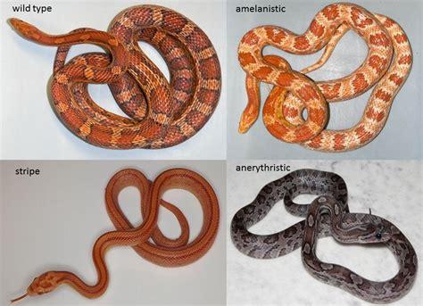 corn snake colors jumping gene turns snake white r science explained