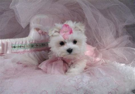 shih tzu puppies for sale in colorado springs tiny teacup puppies maltese yorkies poms maltipoo shih tzu breeds picture