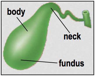 fundus of gallbladder histoquarterly gallbladder histology blog
